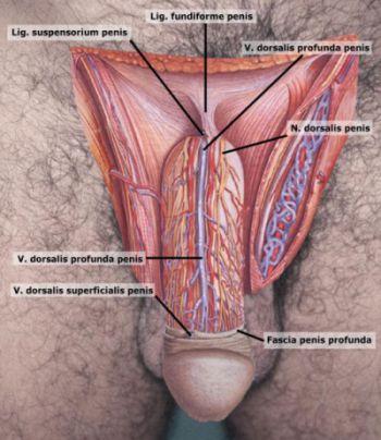 Anatomija penisa | Clinic Olymp